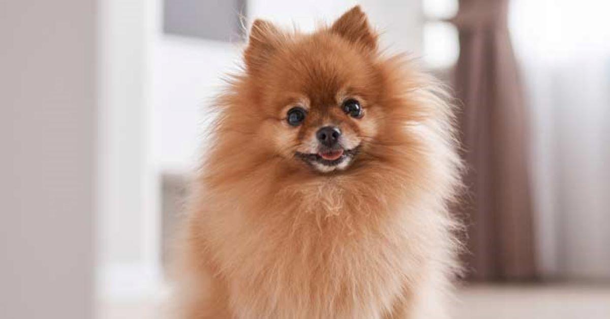 Cuccioli di Pomerania, come spazzolarli: consigli e trucchi per un pelo lucente