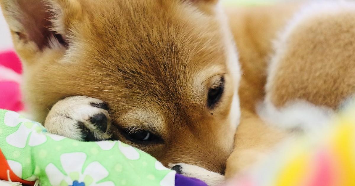 cucciolo di Shiba