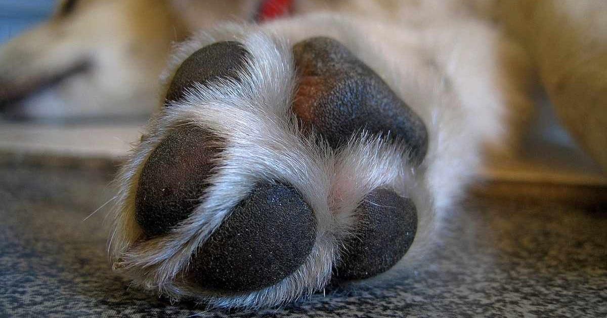 Cuscinetti zampe cane arrossati: tutte le cause e i rimedi più efficaci