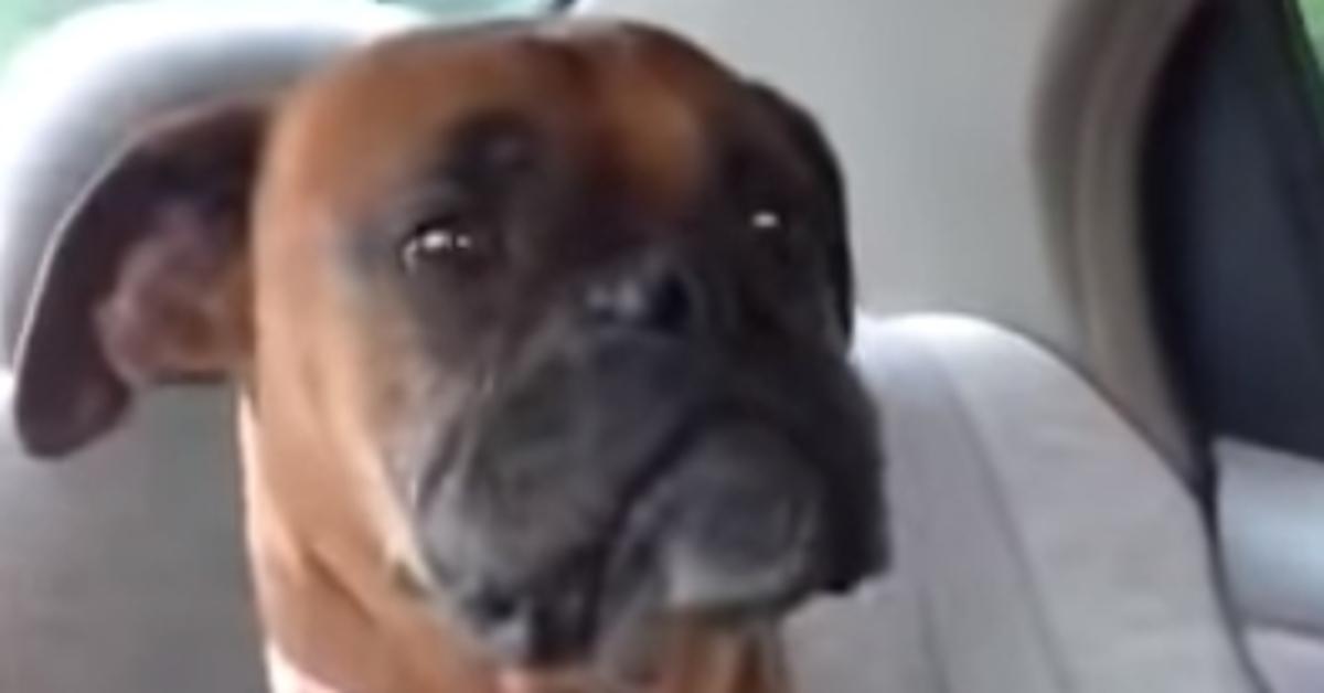 Daisy, la Boxer contrariata con la sua padrona perché è andata a recuperarla dopo la sua fuga (VIDEO)