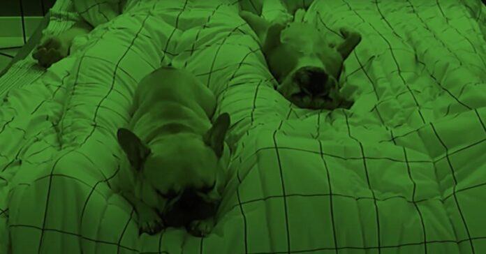 Due Bulldog Francesi dormono nel letto