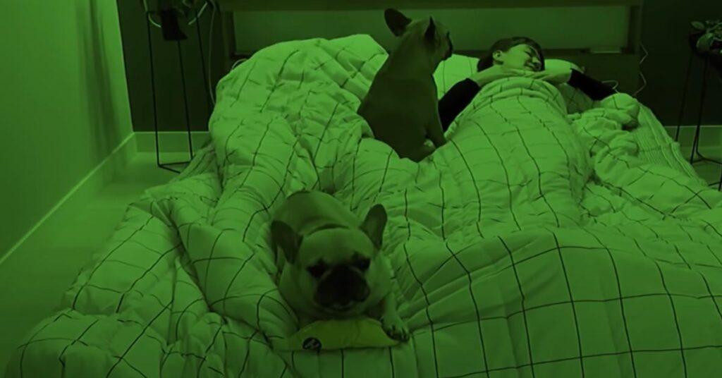 Due Bulldog Francesi dormono con i loro proprietari e la nottata è molto movimentata (video)