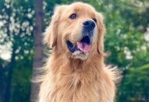 cucciolo di Golden Retriever che sente gli odori di un altro cane ed è geloso