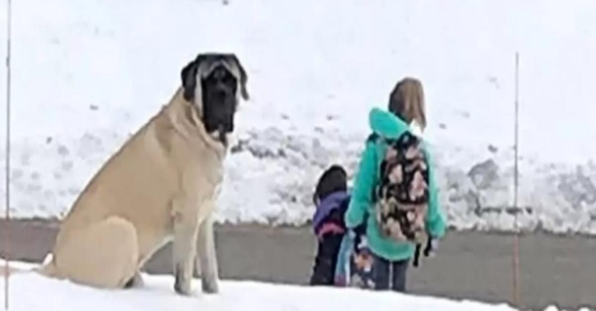 Gordon, il Bullmastiff che tutte le mattine accompagna i bambini allo scuolabus (VIDEO)