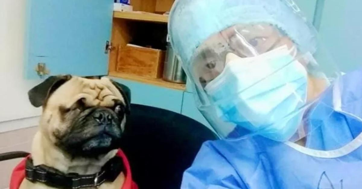 Harley, il Carlino che supporta i medici nella lotta contro il Covid (VIDEO)