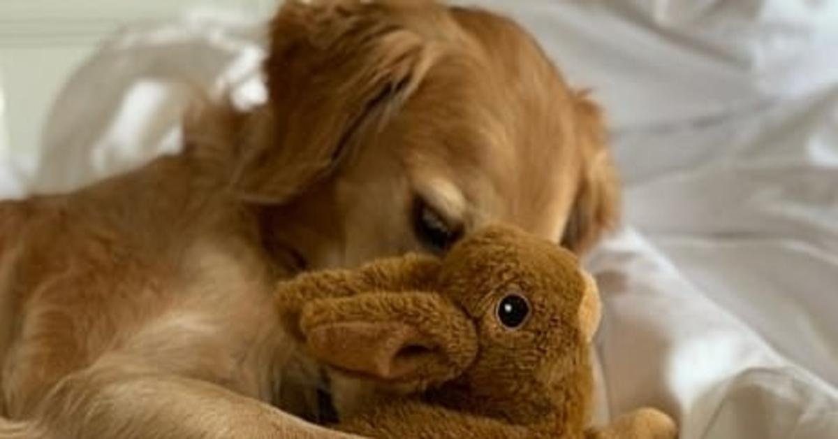 Hugo, il Golden Retriever disperato perché il suo peluche è nella lavatrice (VIDEO)