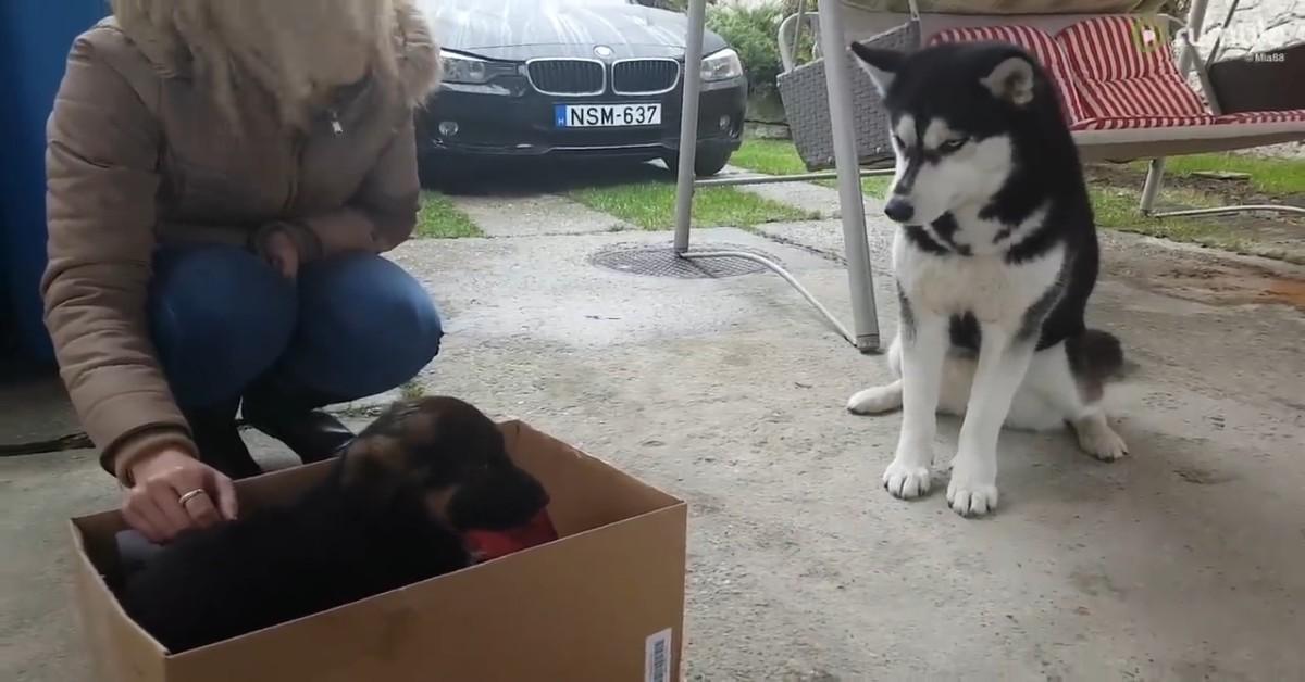 Un Husky è confuso per l'arrivo di un cucciolo di razza diversa (VIDEO)