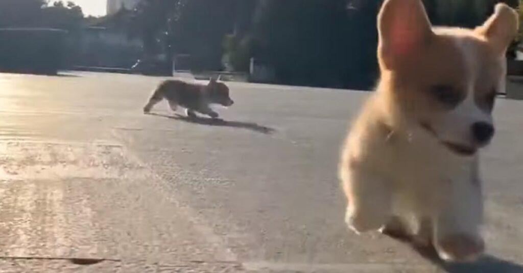I cuccioli di Corgi corrono felici e spensierati e il momento è emozionante (video)