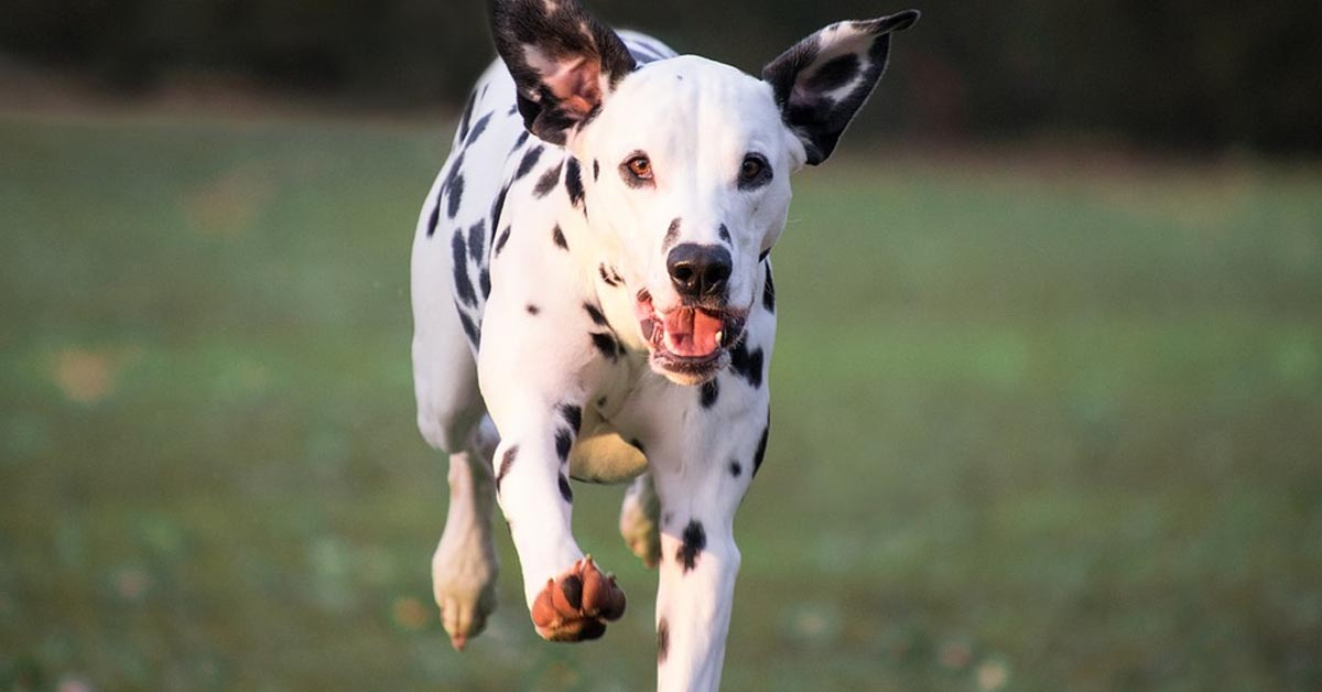Cucciolo di Dalmata che corre