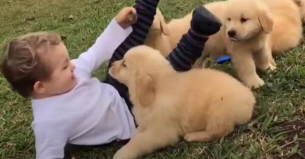 I cuccioli di Golden Retriever fanno un agguato dolcissimo ad un bambino (video)