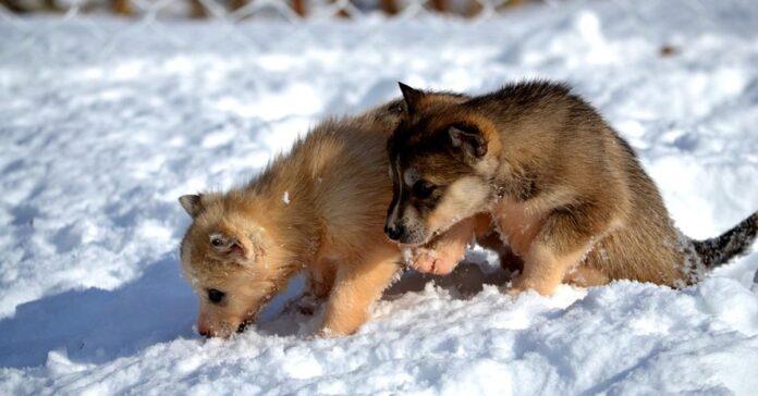 Cuccioli di Husky giocano nella neve