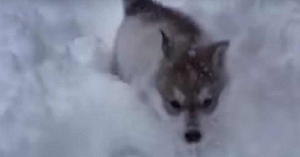 I cuccioli di Husky sono entusiasti di giocare insieme nella neve (video)