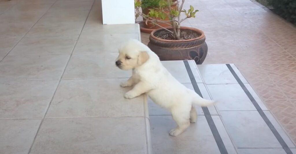 I cuccioli di Labrador affrontano per la prima volta la sfida delle scale (video)