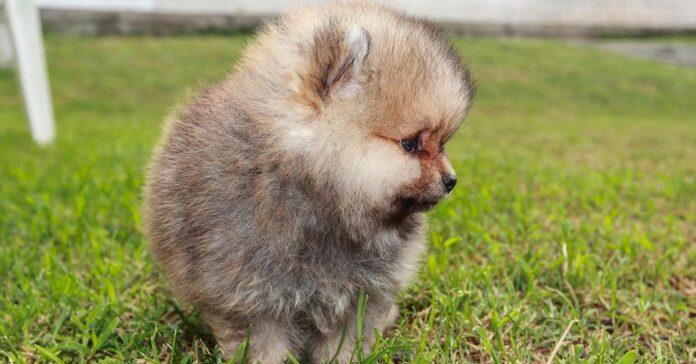 Cucciolo di Pomerania che osserva