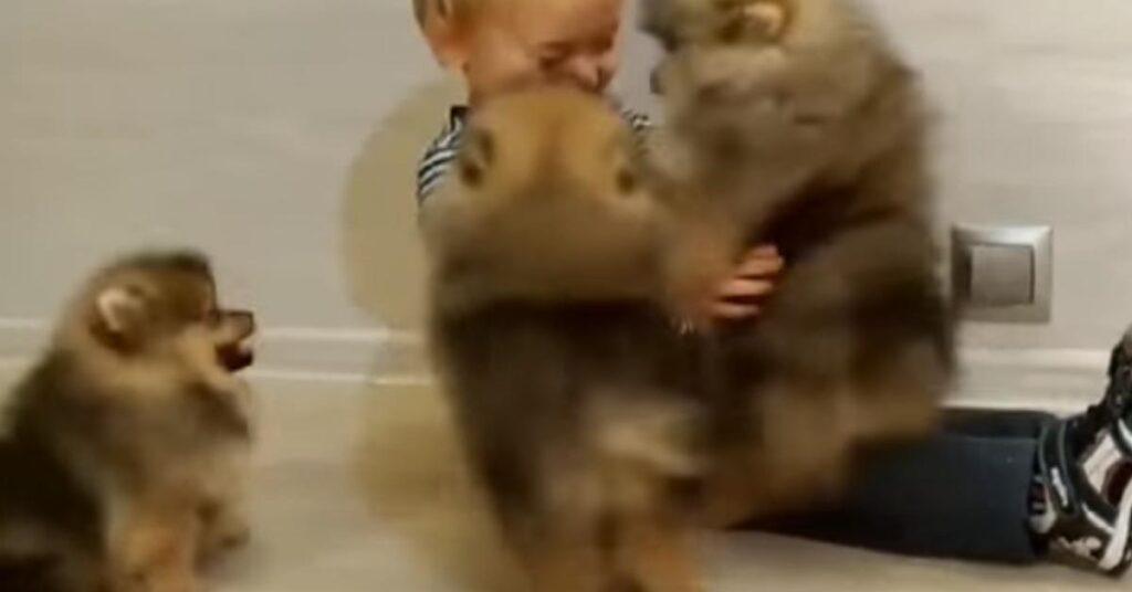 """I cuccioli di Pomerania fanno un dolcissimo """"assalto"""" ad un bambino (video)"""