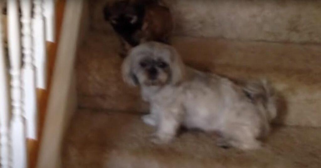 I cuccioli di cane non riescono a trovare il coraggio di scendere le scale (video)