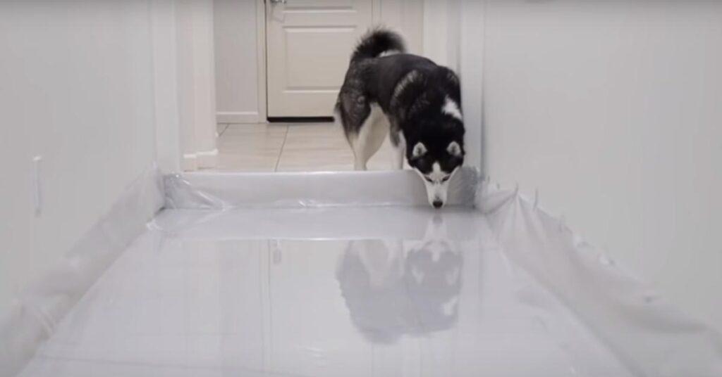 Husky in un corridoio pieno di acqua