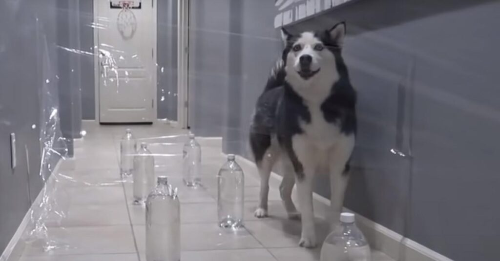 """I due Husky affrontano un labirinto """"invisibile"""" e la sfida è virale (video)"""