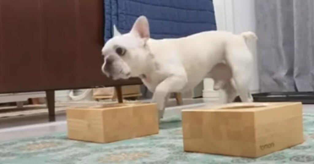 I due cuccioli di Bulldog Francese sono entusiasti che sia arrivato il momento della pappa (video)
