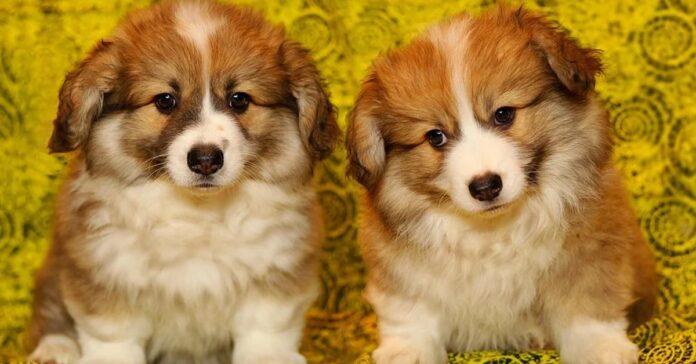 Cuccioli di Corgi che osservano