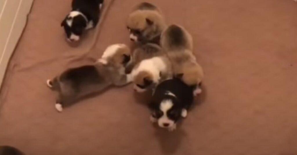 I teneri cuccioli di Corgi muovono i loro primi passi (video)