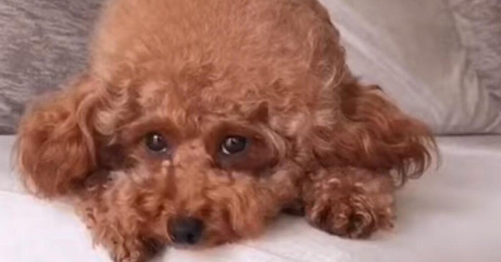 Il Barboncino conosce il nuovo componente della famiglia, un tenero cucciolo di Pitbull (video)