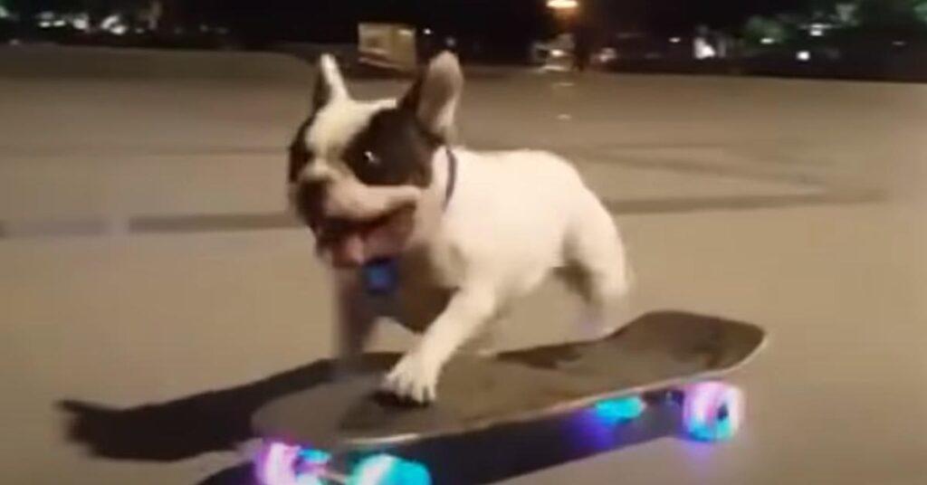 Il Bulldog Francese sfreccia a bordo di uno skateboard e la sua performance è virale (video)