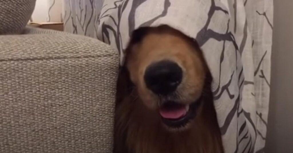 Il Golden Retriever è un maestro a giocare a nascondino: impossibile vederlo (video)