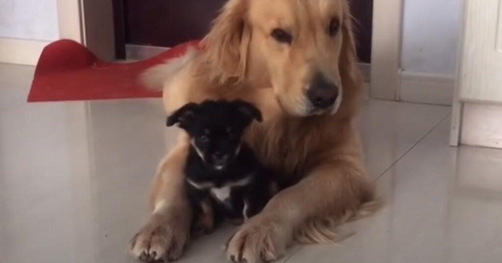 Golden Retriever con un cucciolo di cane