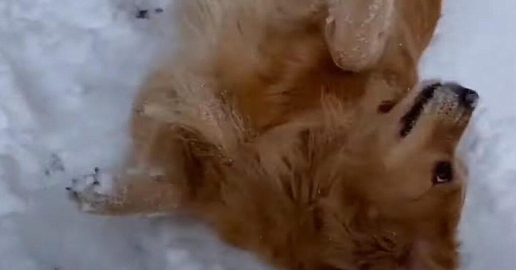 Il Golden Retriever non si stanca mai di giocare nella neve (video)