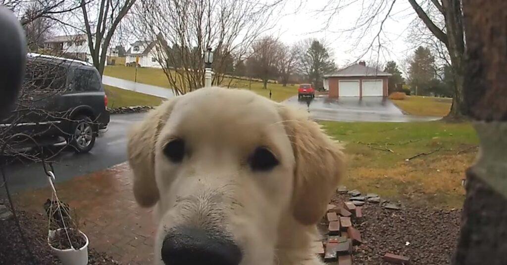 Il Golden Retriever suona il campanello di casa quando vuole rientrare (video)