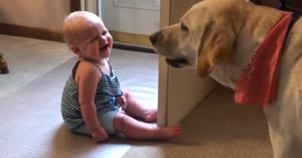 Il Labrador e la bambina giocano teneramente insieme (video)