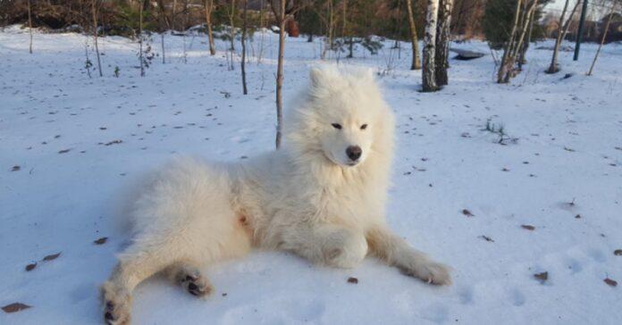 Samoiedo nella neve