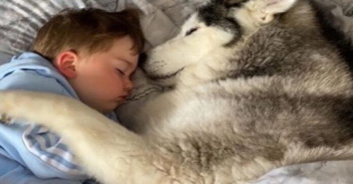 Millie Siberian Husky video