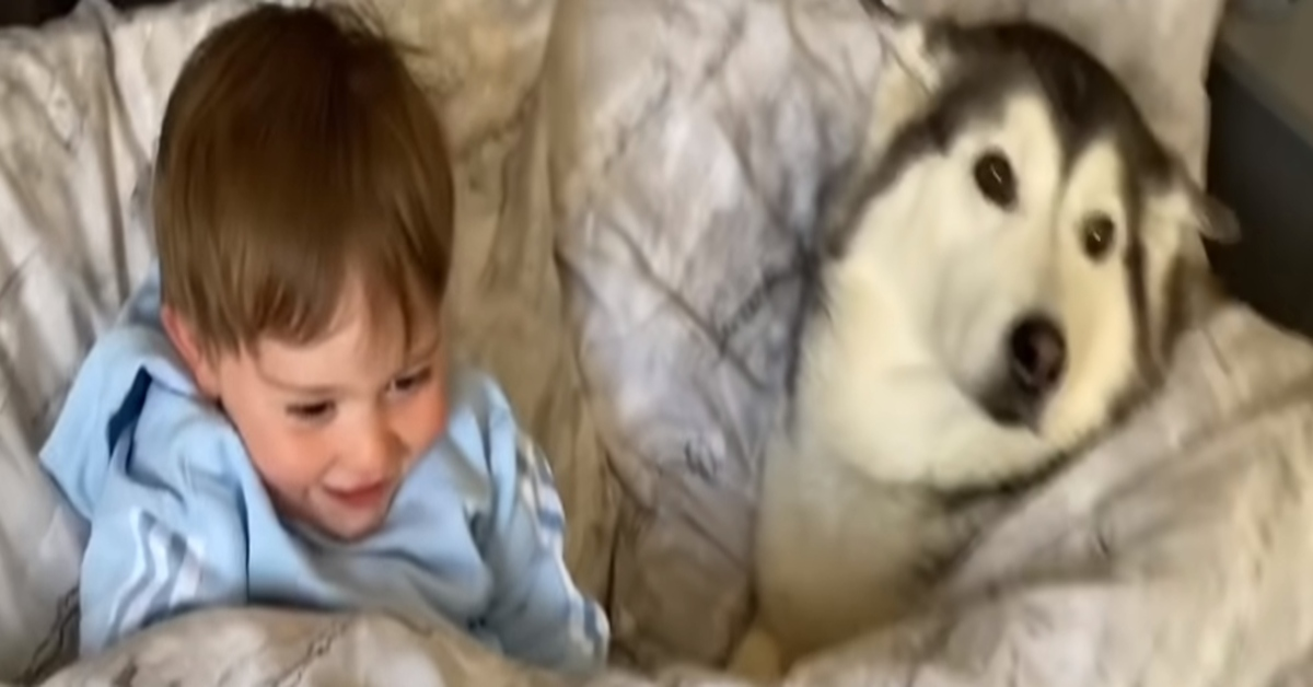 Il Siberian Husky Millie fa un pisolino tra le braccia del suo bambino (VIDEO)