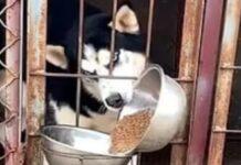 Siberian Husky cibo Golden Retriever video