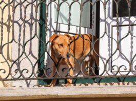 cane in balcone
