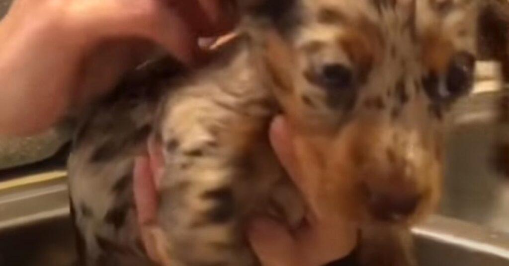Il cucciolo di Bassotto fa il bagnetto per la prima volta e il momento è molto tenero (video)