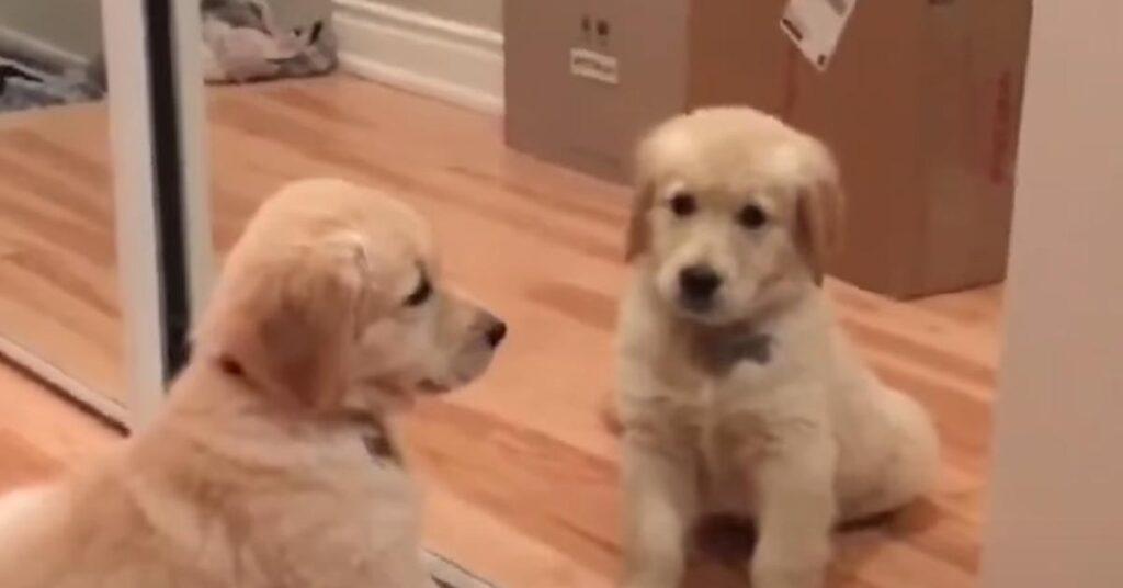 Il cucciolo di Golden Retriever conosce se stesso allo specchio (video)