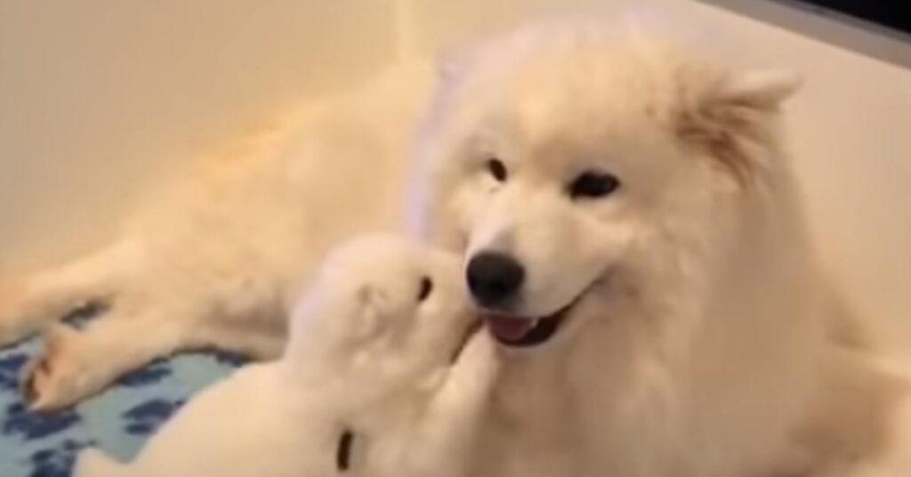Il cucciolo di Samoiedo e la sua mamma si lasciano andare ad un tenero momento di coccole (video)