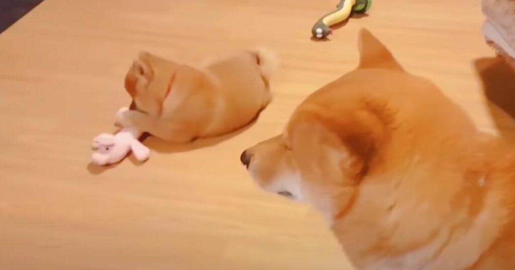 """Il cucciolo di Shiba Inu """"combatte"""" con il papà per un giocattolo (video)"""