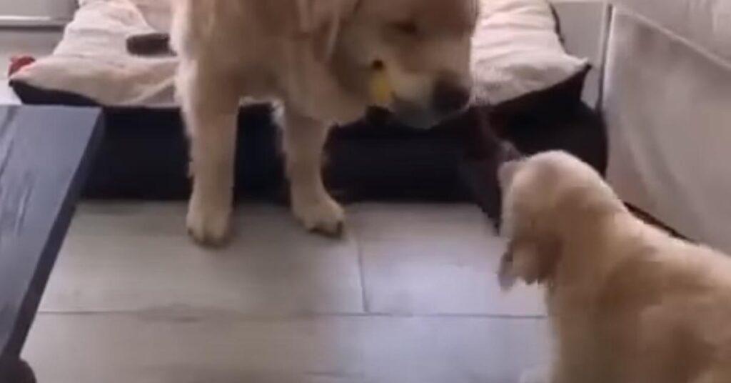 Il papà Golden Retriever insegna un po' di disciplina al suo cucciolo (video)