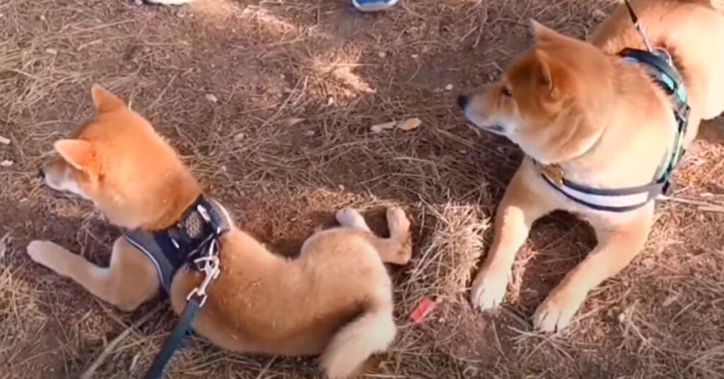 """Il papà incontra per la prima volta il suo cucciolo di Shiba Inu ormai """"adolescente"""" (video)"""