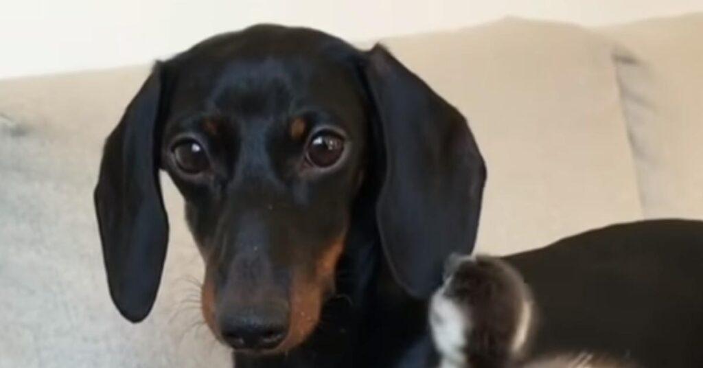 Il tenero cucciolo di Bassotto è il migliore amico di tutti gli animali della fattoria (video)