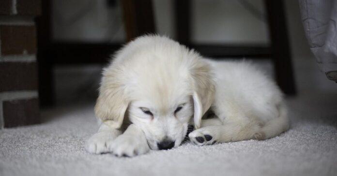 Cucciolo di Golden Retriever che dorme