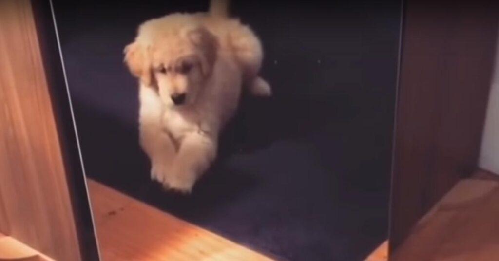 Il tenero cucciolo di Golden Retriever lotta contro se stesso allo specchio (video)