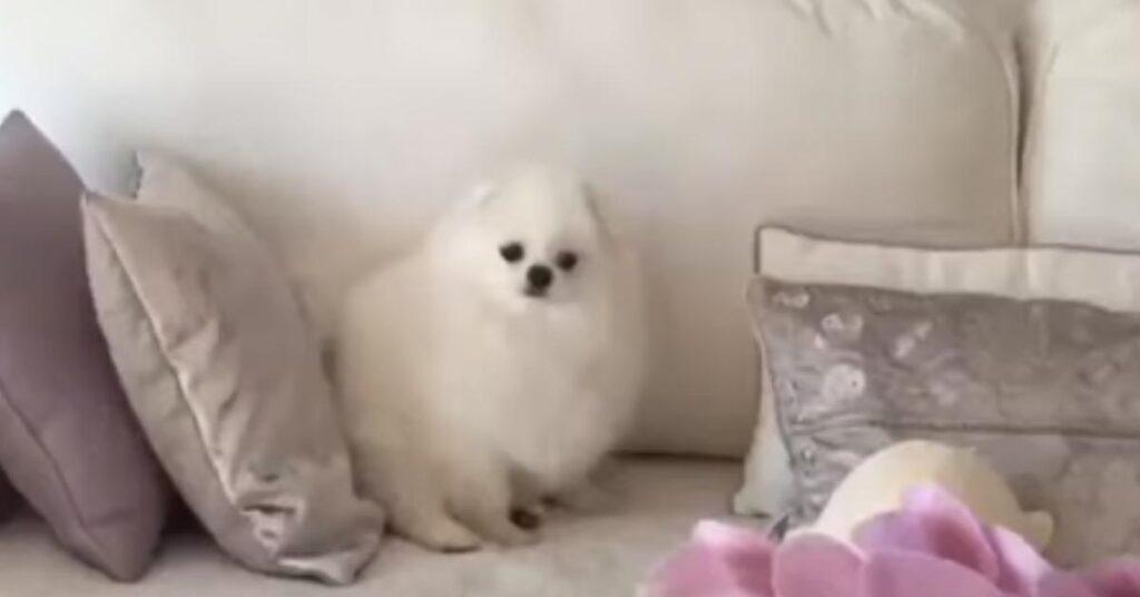 """Il tenero cucciolo di Pomerania """"affronta"""" un peluche a forma di foca (video)"""
