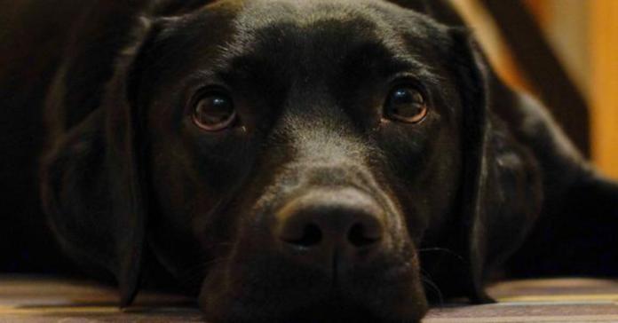 cane nero primo piano