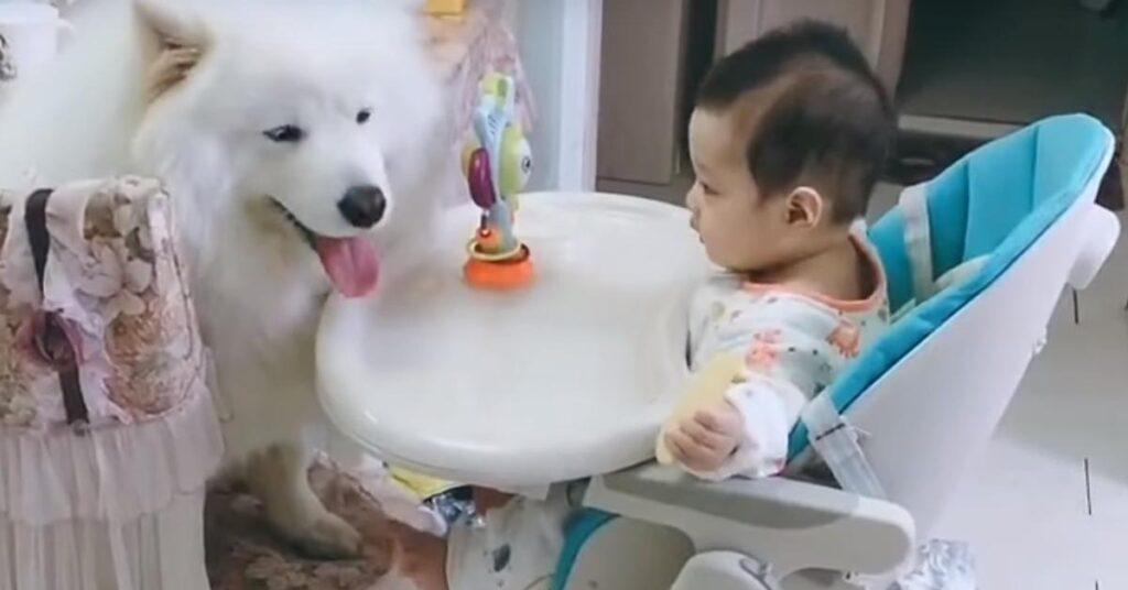 """L'Alaskan Malamute e il Samoiedo conoscono il nuovo """"fratellino"""" e il momento è magico (video)"""