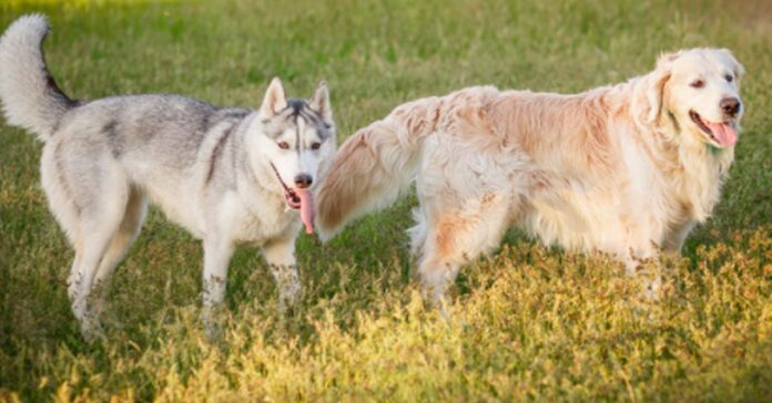 Golden Retriever con un Husky